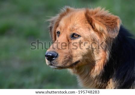 dog, sad dog - stock photo