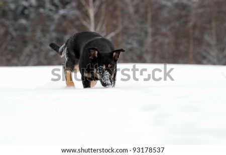 Dog searches in the snow - stock photo