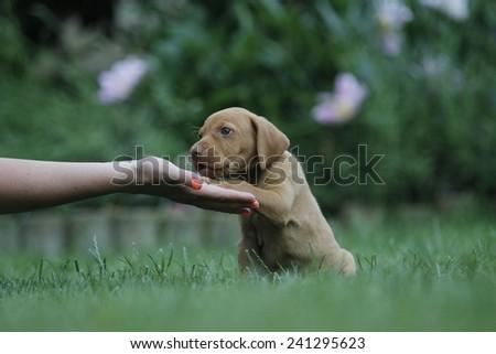 dog shaking hand, soft focus - stock photo
