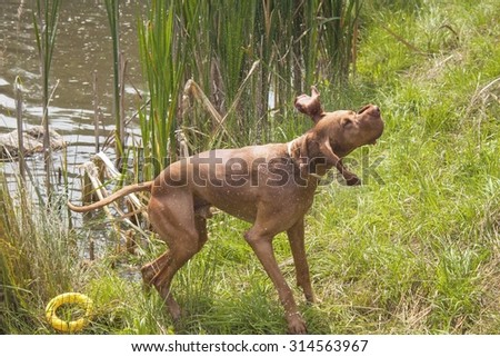 Dog shaking off water from the pond. Hungarian hound after a bath in a rural pond. - stock photo