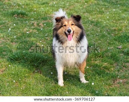 Dog, Shetland sheepdog, collie, standing on grass field covered with white flowers. - stock photo