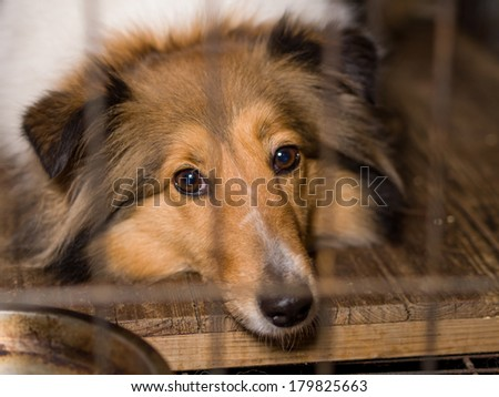 Dog, Shetland sheepdog in cage, thinking her life...... - stock photo