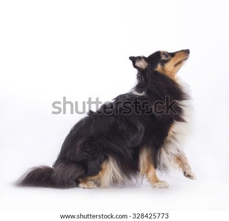Dog, Shetland Sheepdog, isolated on white background - stock photo