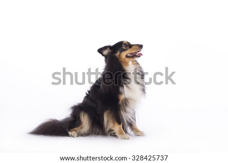Dog, Shetland Sheepdog, sitting, isolated on white background - stock photo