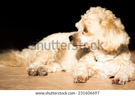 Dog, Shih tzu dog  - stock photo