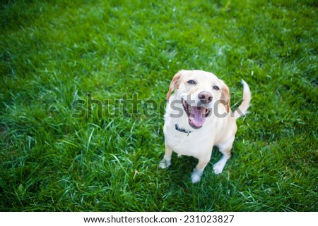 Dog sits in the green grass smiling - stock photo