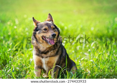 Dog sitting on the grass in summer - stock photo
