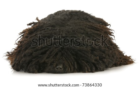 dog sleeping - corded puli with head down sleeping on white background - stock photo