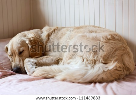 Dog sleeping on the bed - golden retriever - stock photo