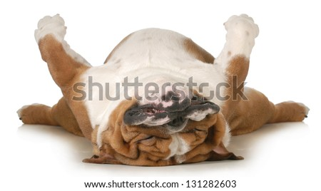 dog sleeping upside down isolated on white background - english bulldog - stock photo