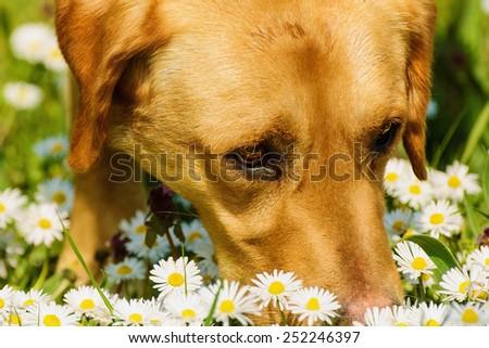 Dog Smelling Field Chamomile - stock photo