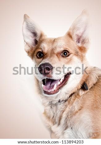 dog smile - stock photo
