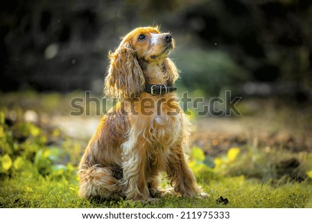 dog Spaniel sitting on the grass - stock photo
