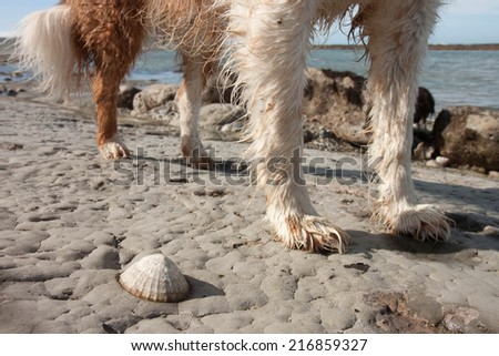 dog standing beside a limpet on rocks exposed at low tide  - stock photo