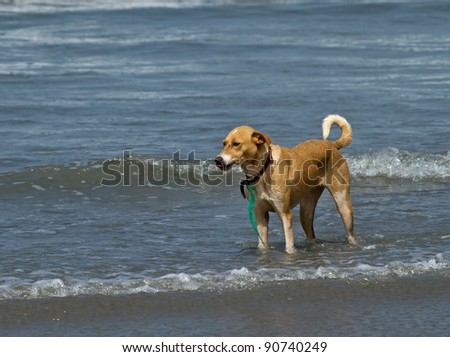 Dog standing in shallow waves at edge of shore in The Gambia - stock photo