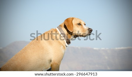 Dog standing on the balcony and looking at the open on the island of Santorini in Greece - stock photo