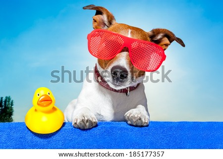 dog sunbathing on ab blue towel with a plastic duck and fancy sunglasses - stock photo
