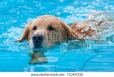 dog swimming - stock photo