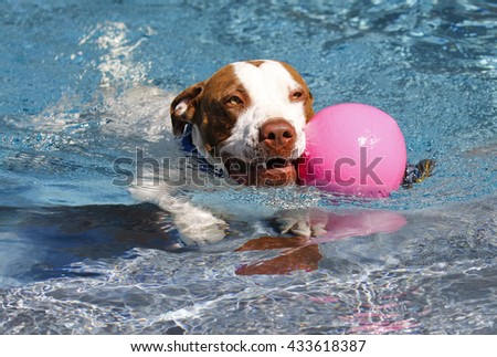 Dog swimming with a pink ball - stock photo