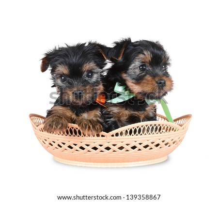 Dog terrier yorkshire in  basket  isolated over white - stock photo