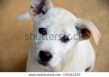 Dog Thailand - stock photo