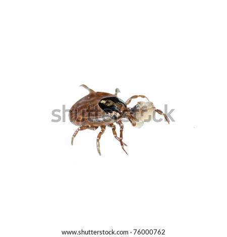 dog tick bug isolated - stock photo