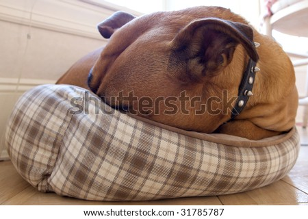 Dog too Big For Little Bed - stock photo