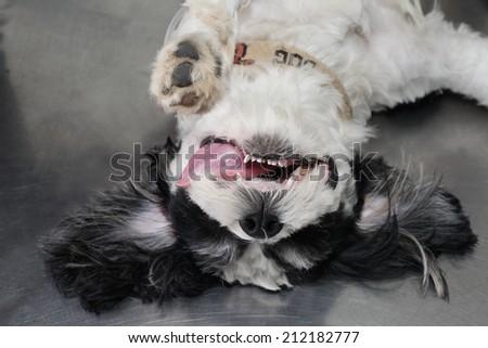 dog under anesthetic - stock photo