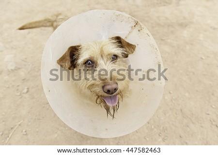 Dog vet operated in rehabilitation, health - stock photo