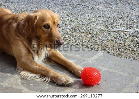 Dog waiting to play with a ball and looking at the camera - stock photo