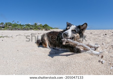 Dog walking on tropical crystal polynesian sea water sandy beach - stock photo
