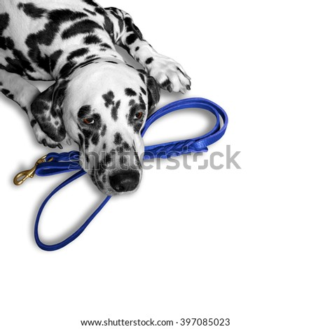 dog wants to walk and wait near the blue leash - stock photo