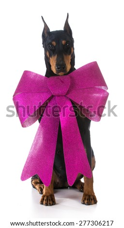 dog wearing a big pink bow on white background - doberman pinscher - stock photo