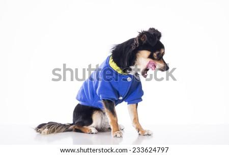 Dog wearing blue jersey - stock photo