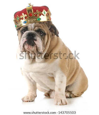 dog wearing crown - english bulldog wearing king's crown sitting looking at viewer isolated on white background - stock photo