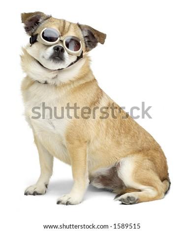 Dog wearing goggles - stock photo