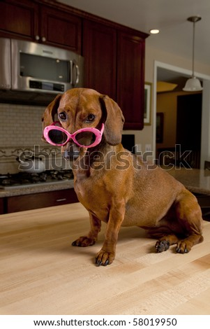 Dog wearing pink sunglasses sitting on kitchen table - stock photo
