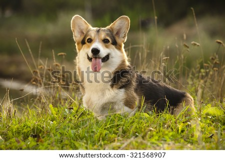 dog Welsh Corgi - stock photo