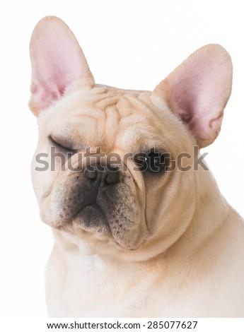 dog winking - french bulldog portrait with one eye open and one eye closed on white background - stock photo
