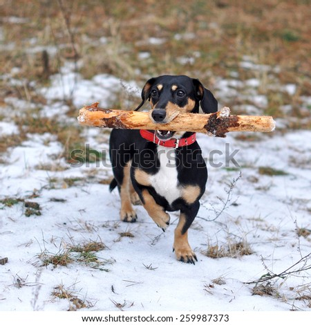 dog with a big stick - stock photo
