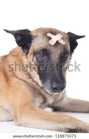 Dog with a plaster on his head - stock photo