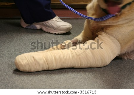 dog with broken leg - stock photo