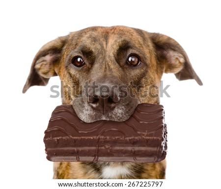 Dog with chocolate in the mouth. isolated on white background - stock photo