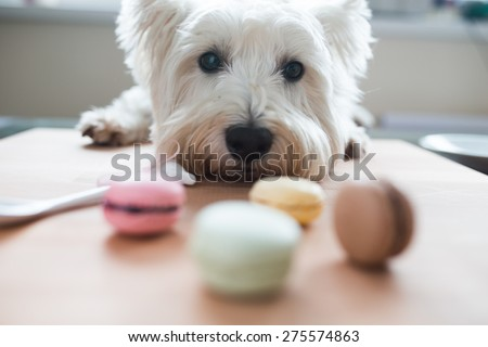Dog with macaroons - stock photo