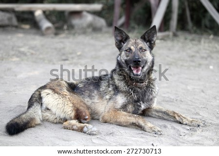 Dog with no leg. Unhappy animal - stock photo