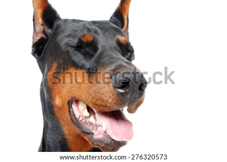 Dog with opened mouth and closed eyes - stock photo
