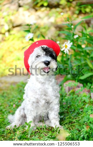 dog with red hat looking at the camera - stock photo