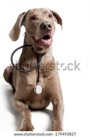 Dog with stethoscope on the white background - stock photo