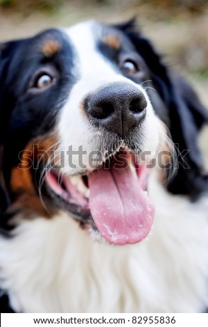 dog with  tongue hanging out in the park - stock photo
