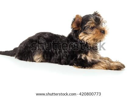 Dog Yorkshire terrier lying - stock photo